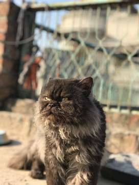 Persian punch face male for sale