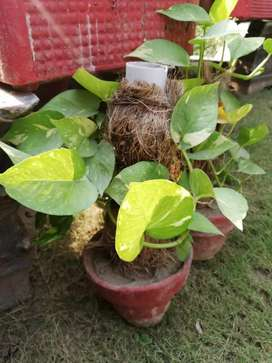 Healthy and Green Money Plant