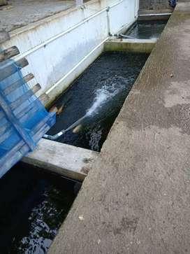 Jual ikan emas segar