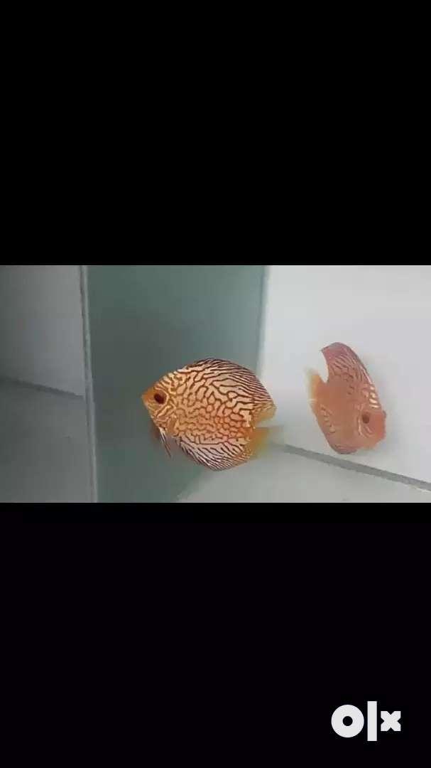 Discuss fish pair for sale 0