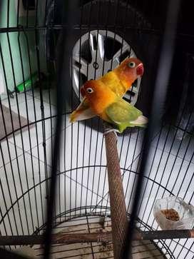 Burung lovebird bising bising