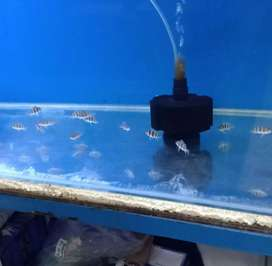 Ikan Frontosa Burrundi
