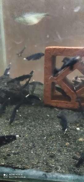 Ikan black ghost cakep gan