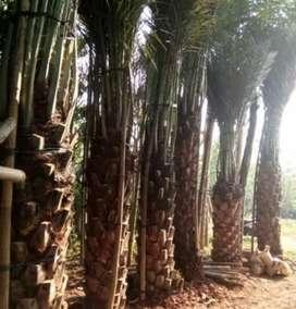 Stok ready pohon kurma tampungan