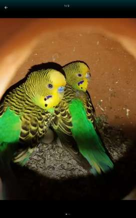Bajri   breeder pairs available in reasonable price