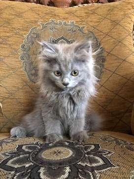 Kucing persia kitten 3bulan