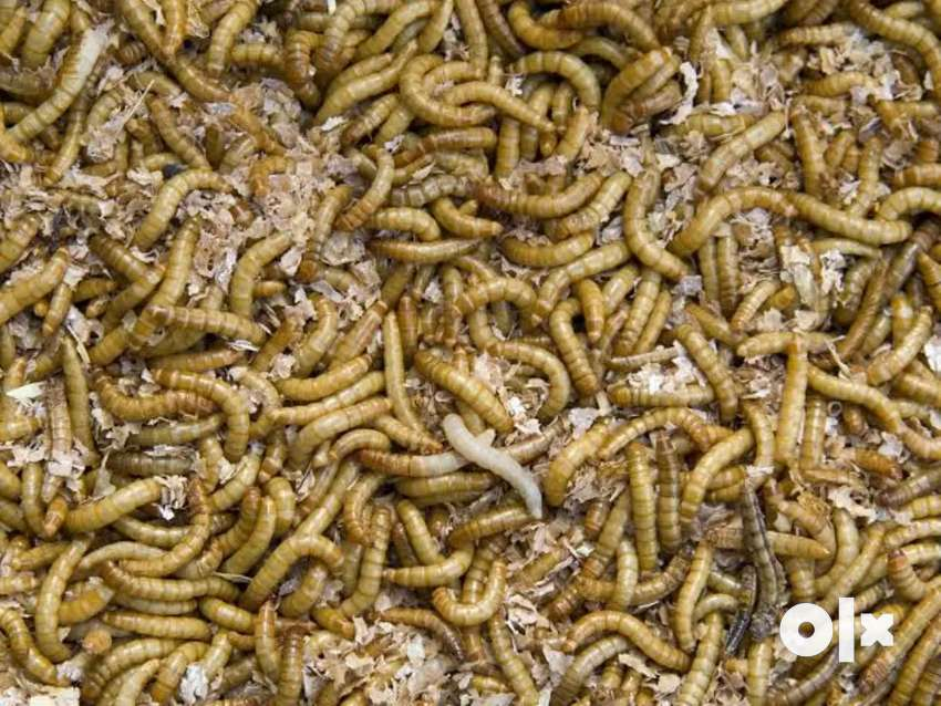 Meal Worms for sale