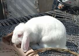 Lop female rabbit for sale