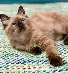 WE SELL EXCELLENT QUALITY OF PERSIANS AND OTHER HIGH BREED CAT/KITTENS