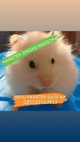 Hamster Syrian Anggora Anakan