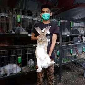 Peternakan kelinci bihend rabbit bukittinggi
