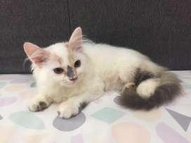 Kucing Kitten persia betina 3bln