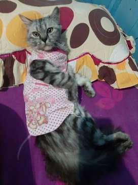 Kucing persia jenkel betina umur 1th