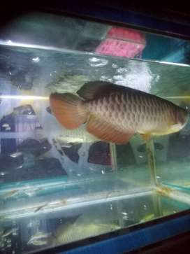 Ikan arwana RTG ( golden red )