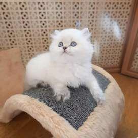 All paper completed persian kitten for sale