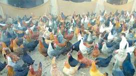 Egg Laying Chicken Available In Different Colours