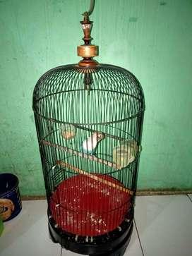 Lovebird balibu mangsi fullset