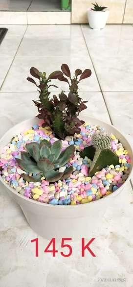 Kaktus mini hias