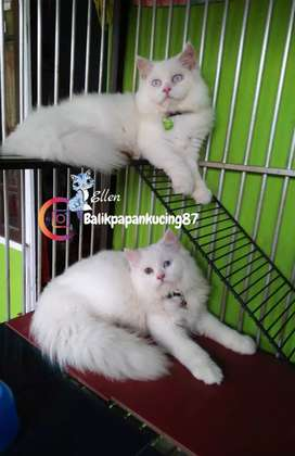 Kucing persia white solid,  jantan usia 5 bln