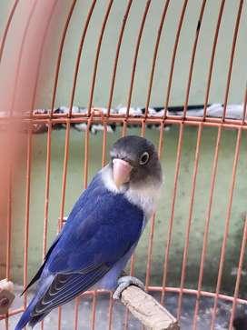 Lovebird Violet Personata