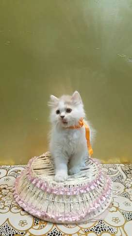 Persian cat kitten sale lovely colors and affordable price