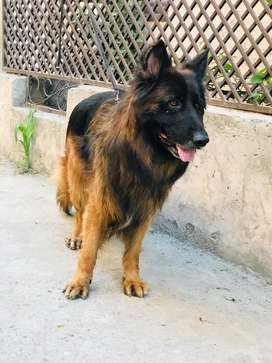 KCP GSDCP pink pedigree black mask long coat male