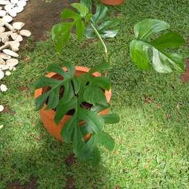 Tanaman Hias Raphidopora Tetrasperma sedang rimbun & Pot Terakota X6