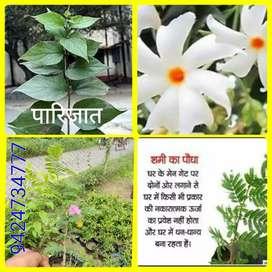 Shami Patra/ Parijaat Plant Available