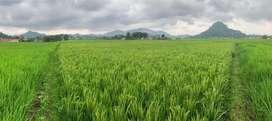 Sawah untuk padi dan cocok untuk investasi