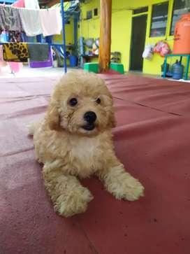 Di jual puppy toy poodle bekasi.