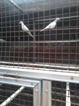 Jual burung kutut  putih kapas asli