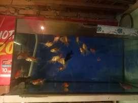 Ikan mas koki dan aquarium