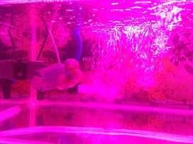 Di jual ikan louhan KSRD thailand
