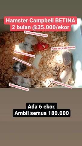 Hamster Campbell cambell Jantan betina