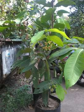Pohon jambu air madu deli sudah berbunga