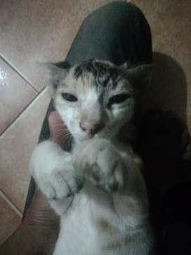 Moti taazi Cat female 1 month elder age 1 months