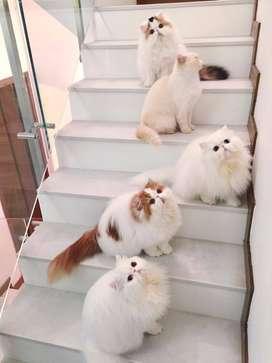 rare color persian kitten for sale
