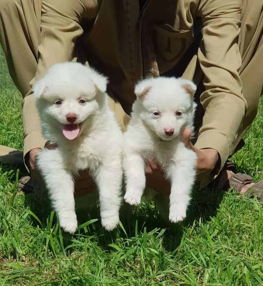 Pure Russian family cute dogs pair male and female 2 month for sale