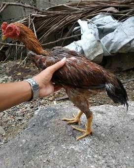 Jual ayam bulbi jantan 2 ekor,harga untuk 2 ekor,nego