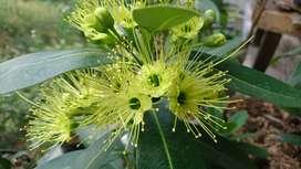 Bunga xanthostemon