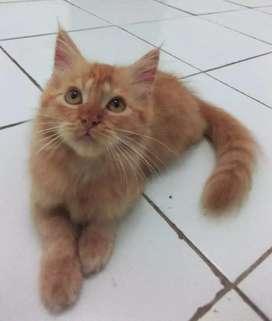 Kitten Persia Red Tabby Long Hair 3 Bulan Kucing