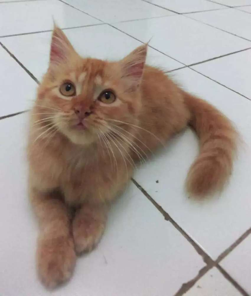 Kitten Persia Red Tabby Long Hair 3 Bulan Kucing 0