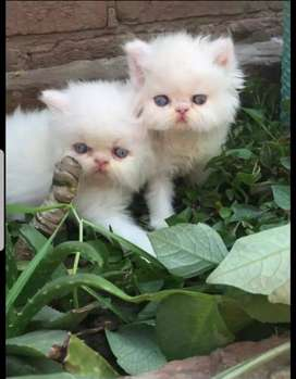 """Handsome PeRsian kittens """