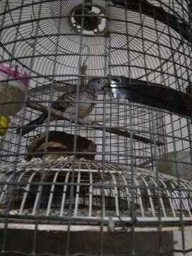 Jual burung perkutut Bangkok cw