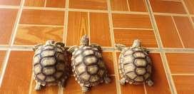 Sulcata tortoise 7.5cm