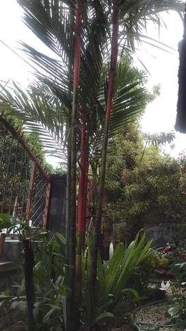 Pohon Palm merah
