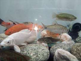 4+ inch Red & White fish Combination