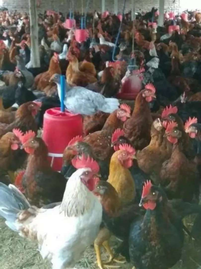 Golden Misri Egg Laying Hens Available for Sale 0