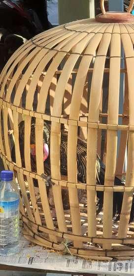 Ayam Hutan Hijau jinak