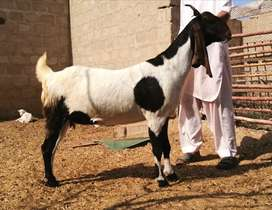 Healthy Goat for sale.